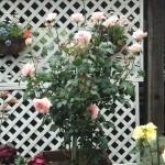 【虹の郷】ロイヤルローズガーデンのバラが見頃になってきました。